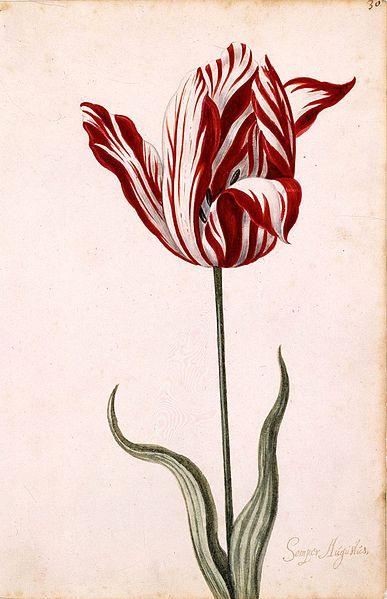 Semper Augustus Tulip 17th Century Anonymous