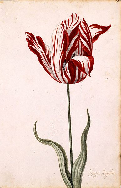 Semper Augustus Tulip 17th Century Anonymous